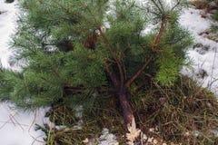 Παράνομη κατάρριψη των έλατων Απαγόρευση αποδάσωσης περιορίστε τα χριστουγεννιάτικα δέντρα στοκ φωτογραφία