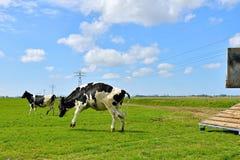 Παράξενη αγελάδα που οργανώνονται και άλμα στον τομέα μετά από τη μεταφορά ζωικού κεφαλαίου στον τομέα Στοκ Εικόνα