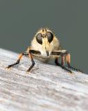 Παράξενη μύγα - πρόσωπο μακριά! Στοκ Εικόνες