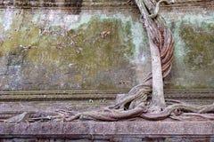 Παράξενο δέντρο σε Beng Melea, Angkor, Καμπότζη Στοκ Εικόνες