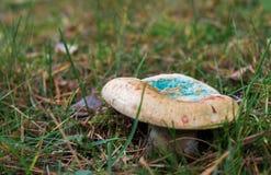 Παράξενο μπλε μανιτάρι στο δασικό έδαφος στοκ φωτογραφίες