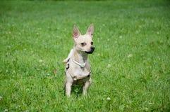 Παράξενο σκυλί Στοκ φωτογραφία με δικαίωμα ελεύθερης χρήσης
