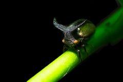 Παράξενο Treehopper στα φυσικά δάση Στοκ Φωτογραφία
