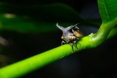 Παράξενο Treehopper στα φυσικά δάση Στοκ Εικόνα