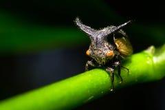 Παράξενο Treehopper στα φυσικά δάση Στοκ Φωτογραφίες