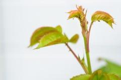 Παράσιτα κήπων, aphids Στοκ Φωτογραφίες