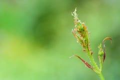 Παράσιτα κήπων, aphids Στοκ εικόνα με δικαίωμα ελεύθερης χρήσης