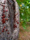 Παράσιτα κανθάρων που κάθονται σε ένα δέντρο Στοκ εικόνα με δικαίωμα ελεύθερης χρήσης