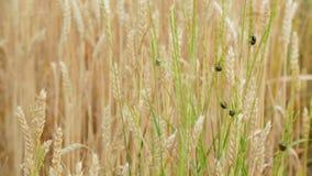 Παράσιτο εντόμων των γεωργικών συγκομιδών Μαύρος κάνθαρος σιταριού spikelets του σίτου φιλμ μικρού μήκους