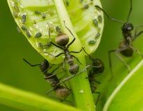 Παράσιτο μυρμηγκιών Στοκ Φωτογραφίες