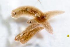 Παράσιτο Planarian flatworm κάτω από την άποψη μικροσκοπίων στοκ φωτογραφία