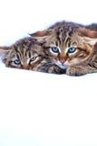 Παράτολμα γατάκια Στοκ Εικόνες