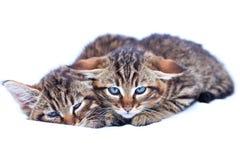Παράτολμα γατάκια Στοκ Εικόνα