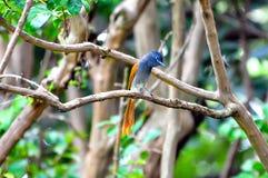 Παράδεισος Flycatcher στοκ φωτογραφίες με δικαίωμα ελεύθερης χρήσης