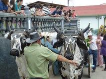 Παρέλαση βοδιών, Κόστα Ρίκα Στοκ Εικόνες
