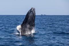 Παραβίαση μόσχων φαλαινών Humpback από τον ωκεανό Στοκ Εικόνα