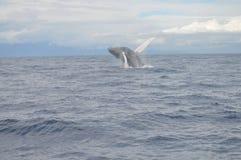 Παραβίαση φαλαινών Humpback Στοκ εικόνα με δικαίωμα ελεύθερης χρήσης