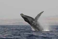 παραβίαση 5533 humpback Στοκ εικόνα με δικαίωμα ελεύθερης χρήσης