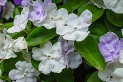 Παραγουανές jasmine εγκαταστάσεις με τα άσπρα και ιώδη λουλούδια στοκ εικόνα με δικαίωμα ελεύθερης χρήσης