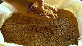 Παραγωγικότητα του σιταριού απόθεμα βίντεο