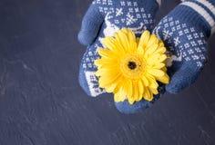Παραδίδει τα γάντια κρατά ένα λουλούδι gerbera Στοκ Εικόνες
