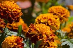 Παραδοσιακά λουλούδια cempasuchil στοκ εικόνα
