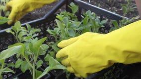 Παραδώστε τα κίτρινα γάντια που ταξινομούν το σπορόφυτο στον κήπο κατωφλιών φιλμ μικρού μήκους