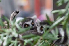 Παρακολουθημένοι δαχτυλίδι κερκοπίθηκοι που κρύβουν στο θάμνο Στοκ Εικόνες