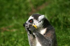 Παρακολουθημένος δαχτυλίδι κερκοπίθηκος που τρώει τα φρούτα στοκ εικόνες