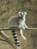 Παρακολουθημένος δαχτυλίδι κερκοπίθηκος στο ζωολογικό κήπο Στοκ Φωτογραφίες