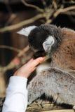 Παρακολουθημένος ο δαχτυλίδι κερκοπίθηκος γλείφει το χέρι ενός παιδιού στοκ φωτογραφία