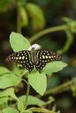 Παρακολουθημένη πεταλούδα του Jay - Graphium agamemnon Στοκ φωτογραφία με δικαίωμα ελεύθερης χρήσης