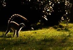 Παρακολουθημένος δαχτυλίδι κερκοπίθηκος στη Μαδαγασκάρη Στοκ Εικόνες