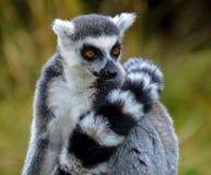 Παρακολουθημένος δαχτυλίδι κερκοπίθηκος Στοκ εικόνες με δικαίωμα ελεύθερης χρήσης
