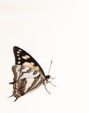 Παρακολουθημένο πεταλούδα emporer Στοκ Εικόνες