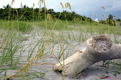 παραλία driftwood Στοκ Φωτογραφίες