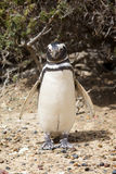 παραλία penguin Στοκ φωτογραφίες με δικαίωμα ελεύθερης χρήσης