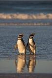 παραλία penguins Στοκ φωτογραφίες με δικαίωμα ελεύθερης χρήσης