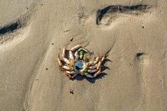 Παραμένει ενός νεκρού καβουριού που αφήνεται στην αμμώδη παραλία με άμπωτη στοκ εικόνες με δικαίωμα ελεύθερης χρήσης