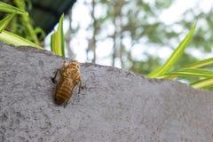 Παραμένει Cicada του εντόμου Cicada molts και φύλλα τα υπολείμματα στοκ εικόνες με δικαίωμα ελεύθερης χρήσης