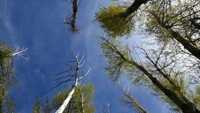 Παραμελημένοι δέντρα λευκών και ουρανός, κάθετος πυροβολισμός, απόθεμα βίντεο