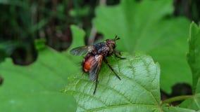 Παρασιτική μύγα - fera Tachina Στοκ εικόνα με δικαίωμα ελεύθερης χρήσης