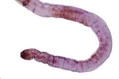 Παρασιτικό flatworm κεστοειδών σκωλήκων των βοοειδών και άλλου βόσκοντας ζώου στοκ εικόνες