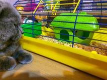 Παρατήρηση γατών μιας χάμστερ Στοκ φωτογραφίες με δικαίωμα ελεύθερης χρήσης