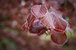 Παραώμονα κόκκινα φύλλα οξιών που παρουσιάζουν ομορφιά φθινοπώρου Στοκ εικόνα με δικαίωμα ελεύθερης χρήσης