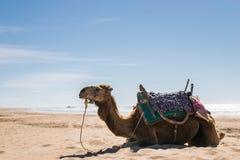 Παραλία αραβικών καμηλών Στοκ φωτογραφία με δικαίωμα ελεύθερης χρήσης