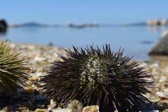 Παραλία των polis itaguaçu-Florianà ³ με τους αχινούς Στοκ Εικόνα