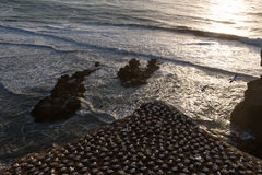 Παραλία Muriwai Στοκ Φωτογραφίες