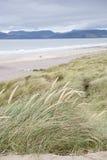 Παραλία Rossbeigh, ιρλανδική αγελάδα κομητειών  Στοκ Εικόνες