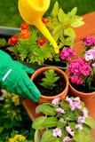 Παραδίδει τα πράσινα λουλούδια εγκαταστάσεων γαντιών στο δοχείο Στοκ Φωτογραφία